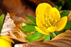 Winter Aconite Stock Photography