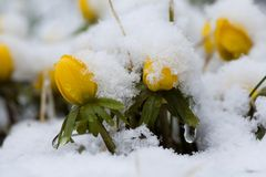 Winter aconite. Covered in newly fallen snow Stock Photo