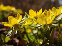 Winter aconite. Flowers in spring Stock Photo