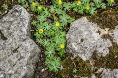 Winter Aconite Blooming Amidst Rocks stock photo