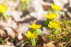 Winter Aconite. Blooming Winter Aconite (Eranthis hyemalis Stock Photos