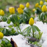 Winter aconite Royalty Free Stock Photography