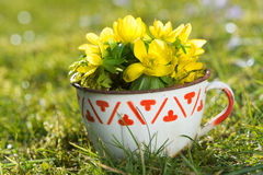 Winter aconite in a cup Stock Image