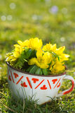 Winter aconite in a cup Royalty Free Stock Image