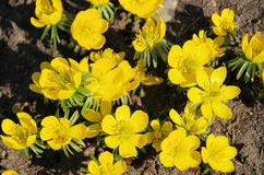 Winter aconite Royalty Free Stock Photos