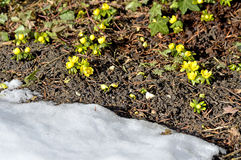 Winter aconite, Eranthis hiemalis Royalty Free Stock Images