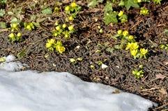 Winter aconite, Eranthis hiemalis Royalty Free Stock Images