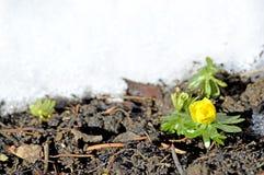 Winter aconite, Eranthis hiemalis Stock Photos