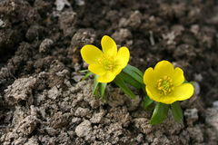Winter aconite, Eranthis hyemalis Royalty Free Stock Photos