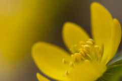 Winter Aconite - Eranthis hyemalis Royalty Free Stock Images