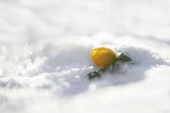 Winter aconite (Eranthis hyemalis) Royalty Free Stock Photo
