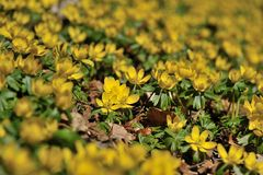 Winter aconite Eranthis hyemalis Royalty Free Stock Photography