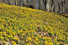 Winter aconite Eranthis hyemalis Stock Photography