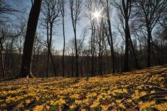 Winter aconite Eranthis hyemalis Stock Photography