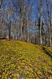 Winter aconite Eranthis hyemalis Royalty Free Stock Image