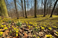 Winter aconite Eranthis hyemalis Royalty Free Stock Photo