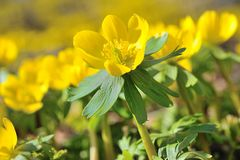 Winter aconite Eranthis hyemalis Royalty Free Stock Images