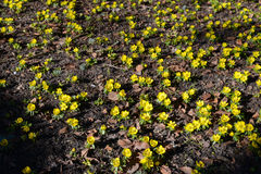Winter aconite, Eranthis hyemalis Royalty Free Stock Photo