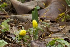 Winter aconite Stock Image