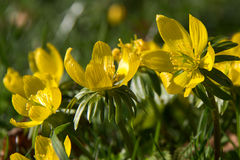Winter aconite Eranthis hyemalis Stock Photos