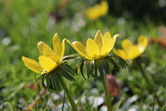 Winter aconite Eranthis hyemalis Royalty Free Stock Photos