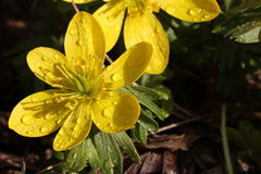 Winter aconite Royalty Free Stock Image