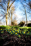 Winter aconite in flower Stock Photography