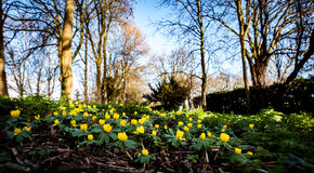 Winter aconite in flower Royalty Free Stock Photography