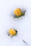 Winter Aconite, lat. Eranthis hyemalis in snow Royalty Free Stock Image
