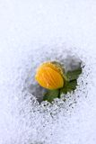Winter Aconite, lat. Eranthis hyemalis in snow Royalty Free Stock Photography