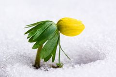 Winter Aconite in snow Stock Photos