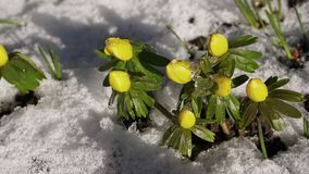 Winter aconite timelapse video stock video footage