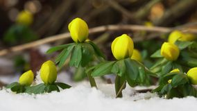 Winter aconite video stock footage