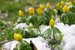 Winter aconite Royalty Free Stock Images