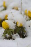 Winter aconites Stock Photos