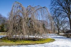 Winter aconites Royalty Free Stock Photo