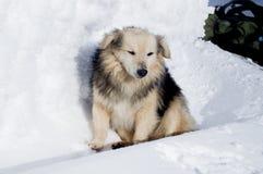 Winter adventures. Dog. Carpathians. Ukraine. stock image