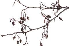 Winter alder branch on a white background Stock Image