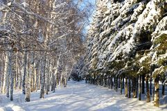 Winter alley. Winter landscape.alley in park.birches and snow-bound fir-trees Royalty Free Stock Photos