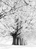 Winter alley. Winter trees Royalty Free Stock Photo