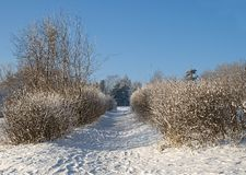 Winter alley. A path between bushes covered with snow Royalty Free Stock Photography