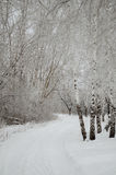 Winter alley throw the forest. Winter path throw the Snowy, frosty forest royalty free stock images