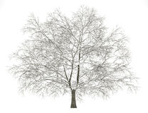 Winter american beech tree isolated on white Royalty Free Stock Photo