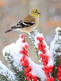 Winter American Goldfinch Stock Image