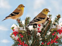 Winter American Goldfinches (Carduelis tristis) Stock Image