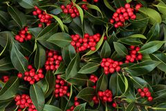 Winter And Christmas Holly Berry Bush Royalty Free Stock Photography