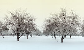 Winter apple garden Stock Images