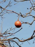 Apple like a tomato royalty free stock photo