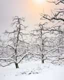 Winter Apple Orchard Michigan snowfall Royalty Free Stock Photography