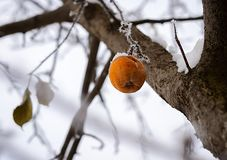 Winter Apple on the tree stock images